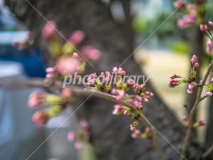 Sakura1403