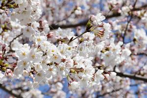 Sakura150328_2