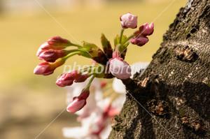 Sakura20150402